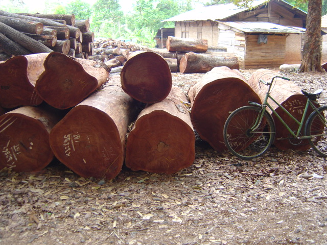 Large mahogany trees in factory lot